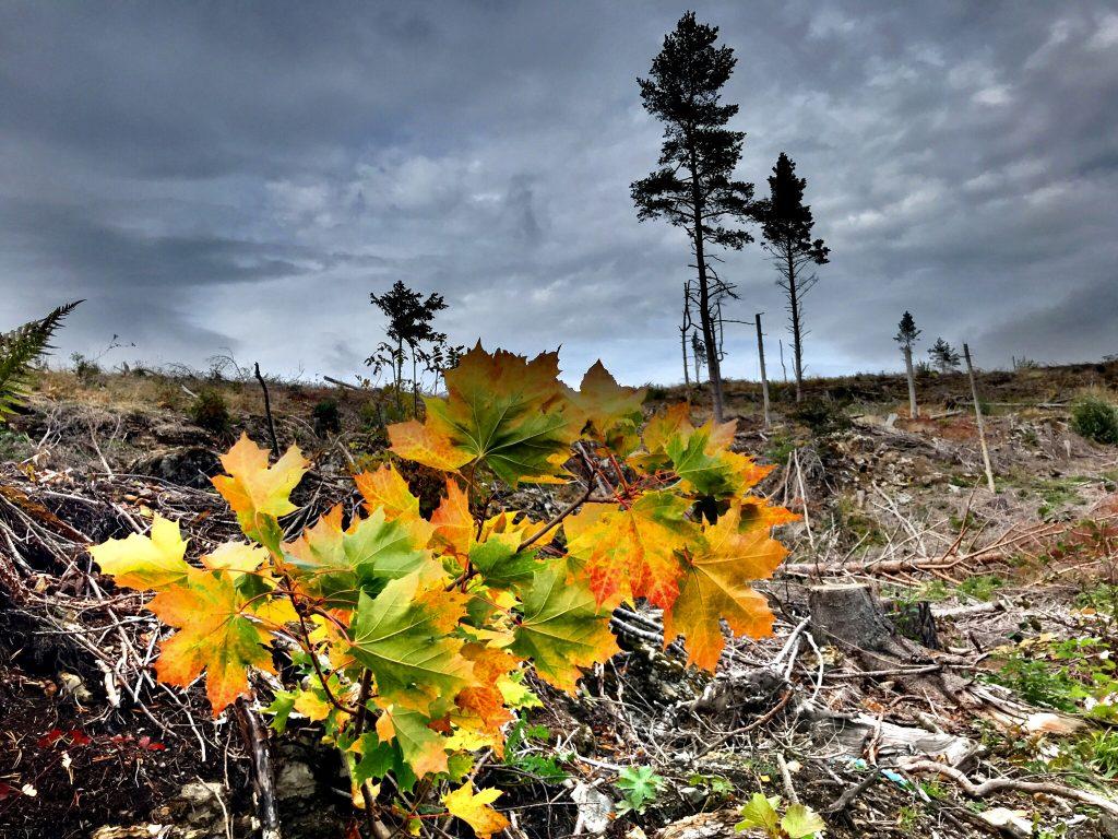 Gammel skog blir som ny...